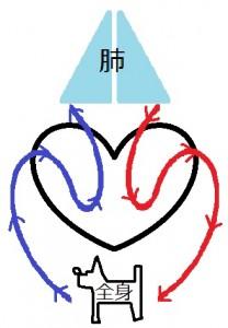 心臓循環図-208x300
